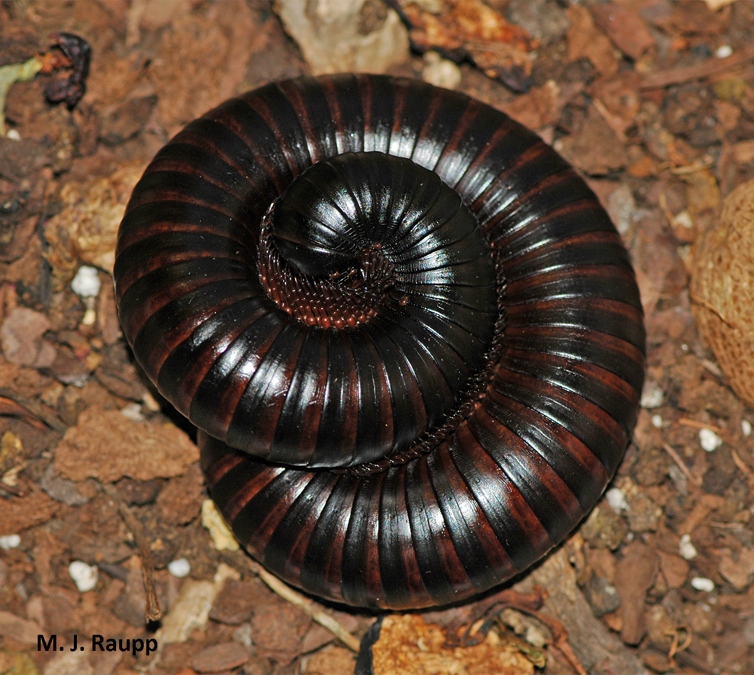 Curling into a tight ball is a common defense of millipedes.
