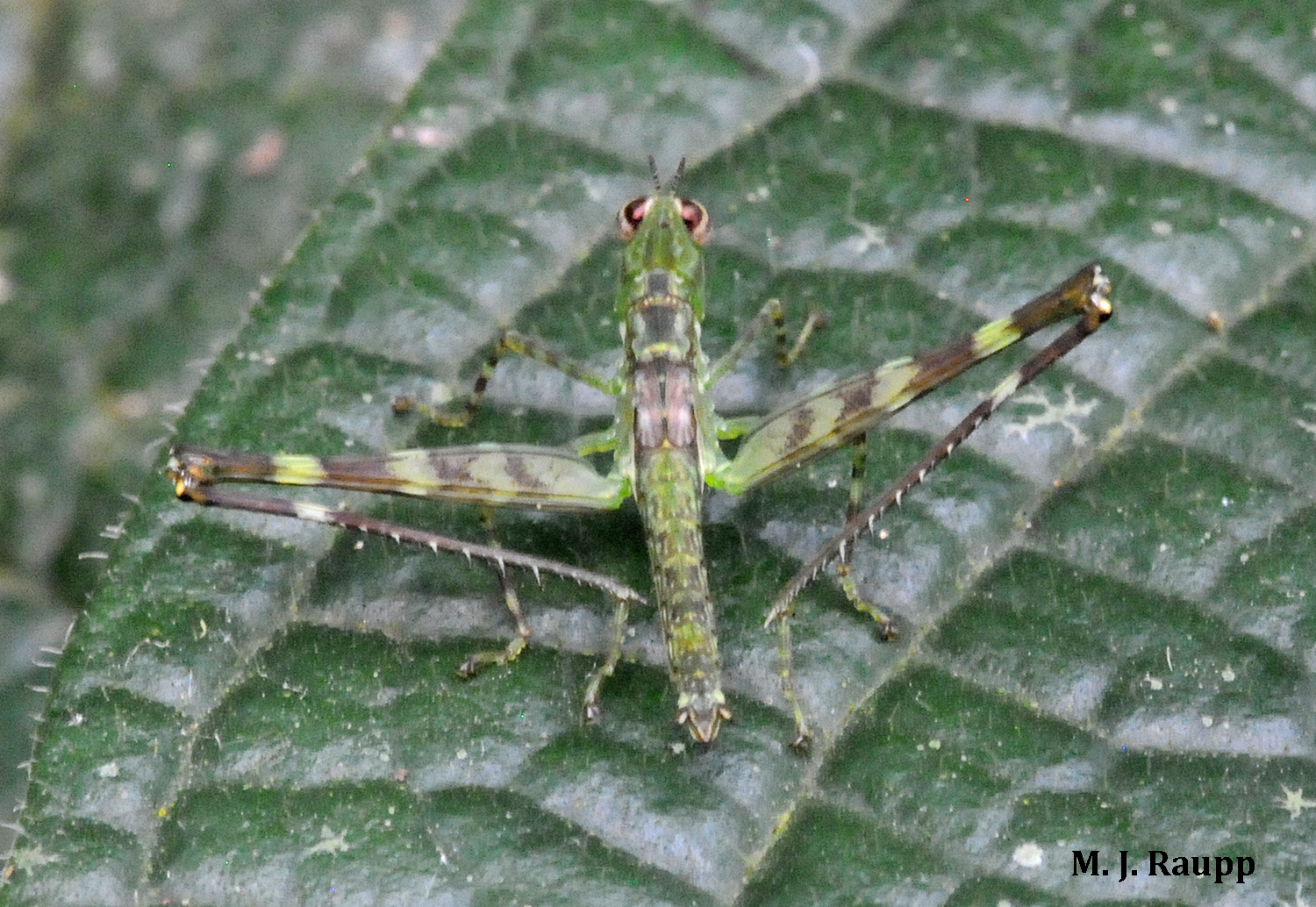 Spines lining the legs of this airplane grasshopper could deliver a surprise to an uninitiated predator.