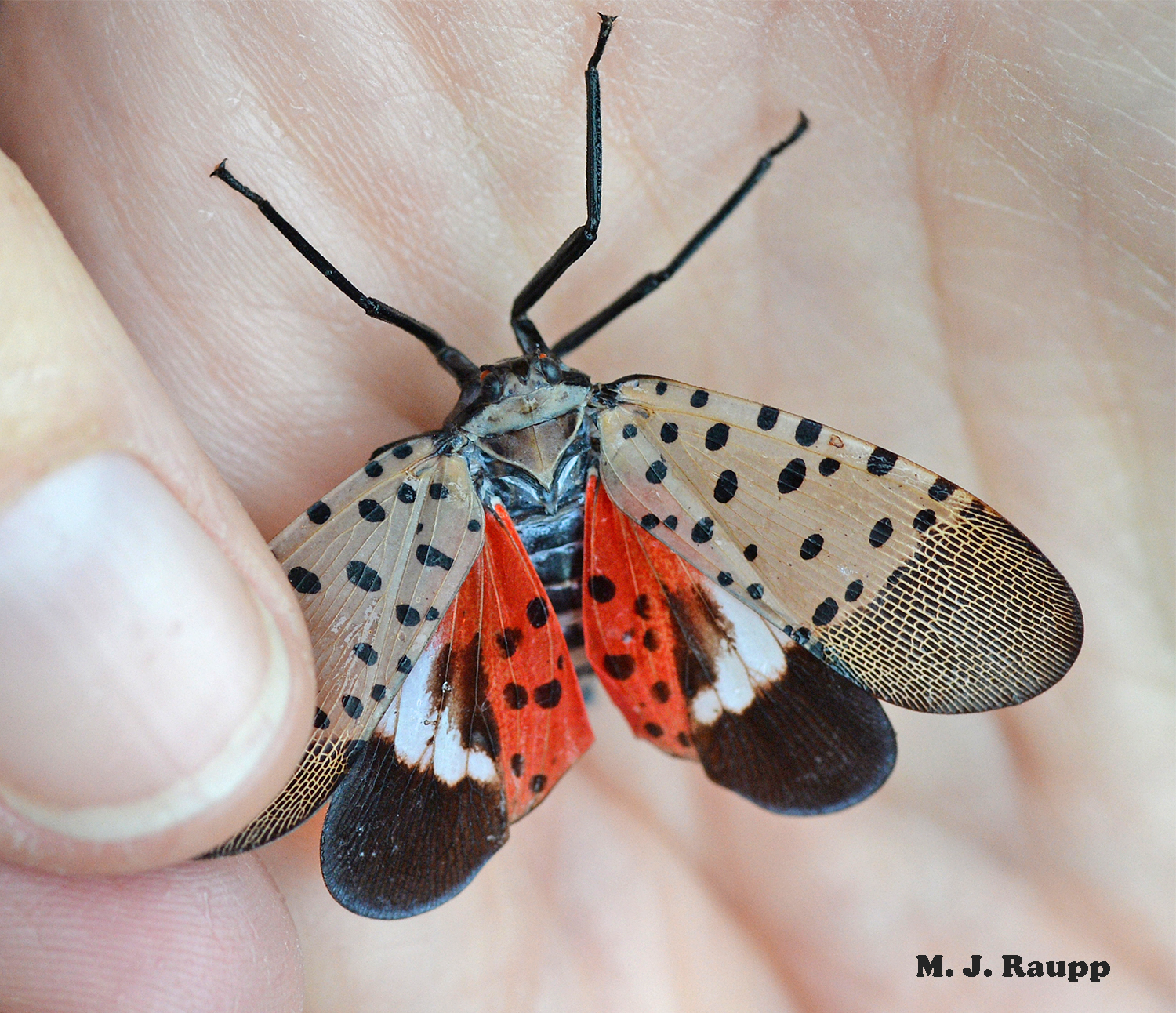 The spotted lanternfly is an invasive pests that feeds on more than 70 species of trees and vines.