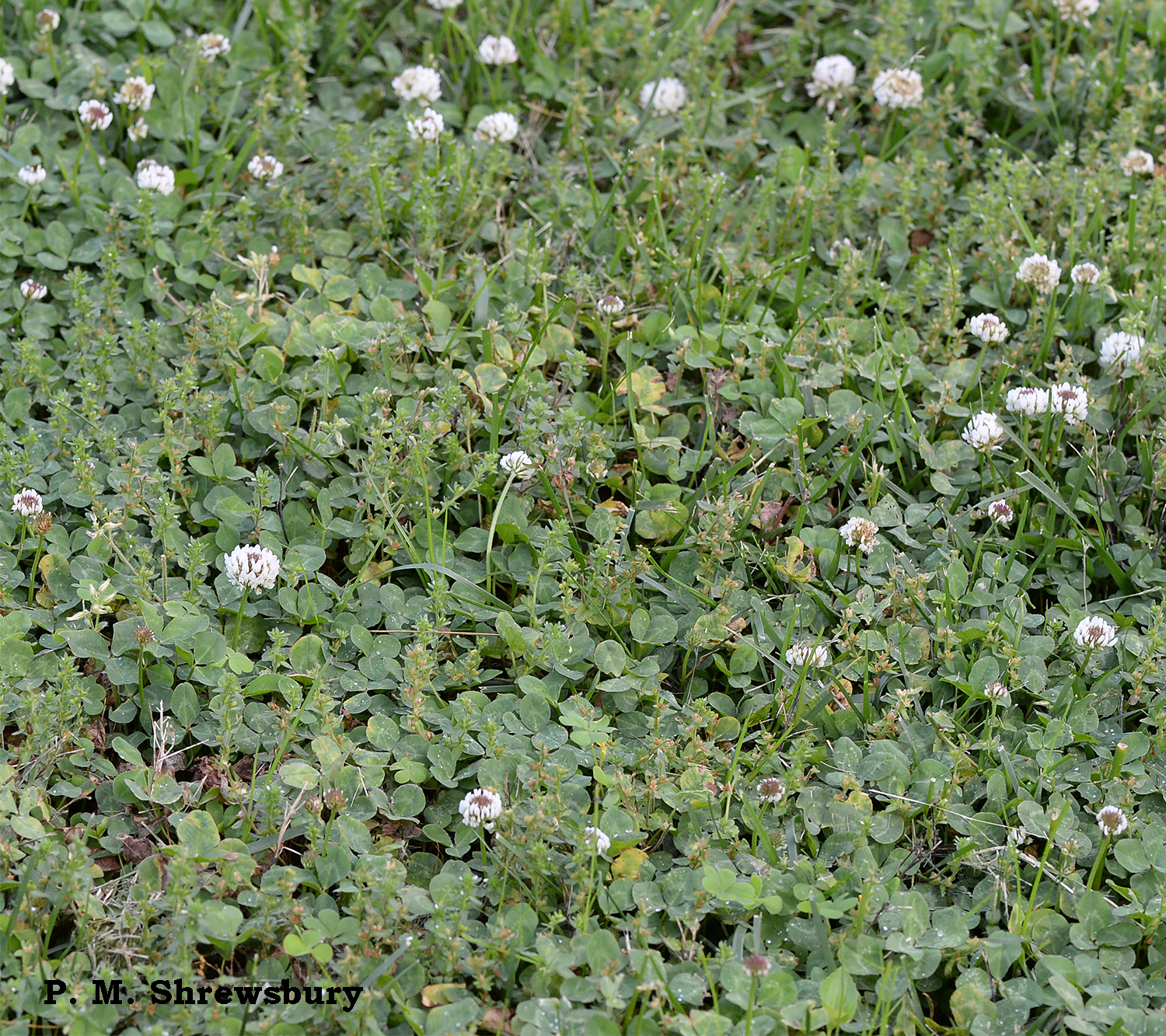 A fine patch of clover spawns a fine crop of clover mites in my lawn.