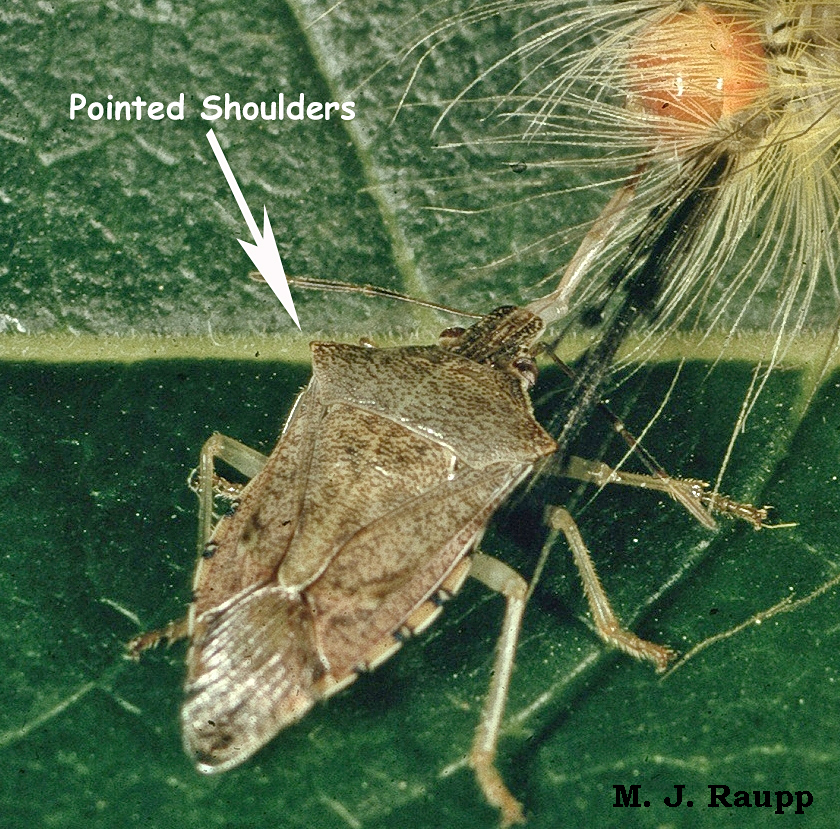 And here's how the spined soldier bug got its name.