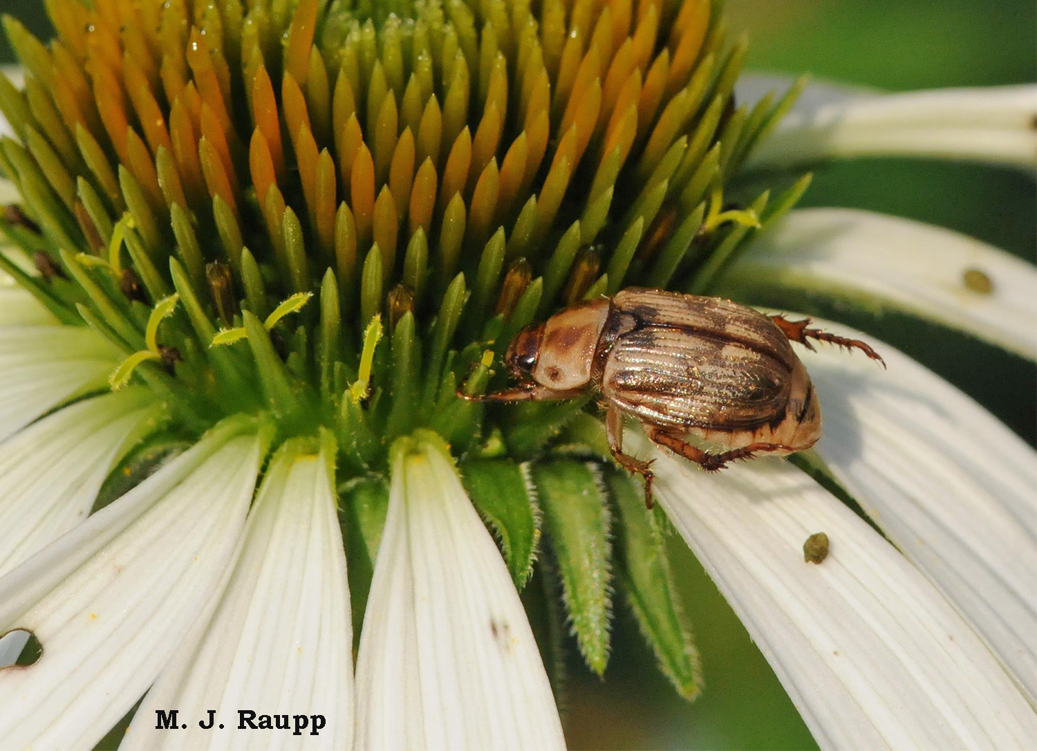 Despoiling petals of my coneflowers is just another meal for the Oriental beetle.