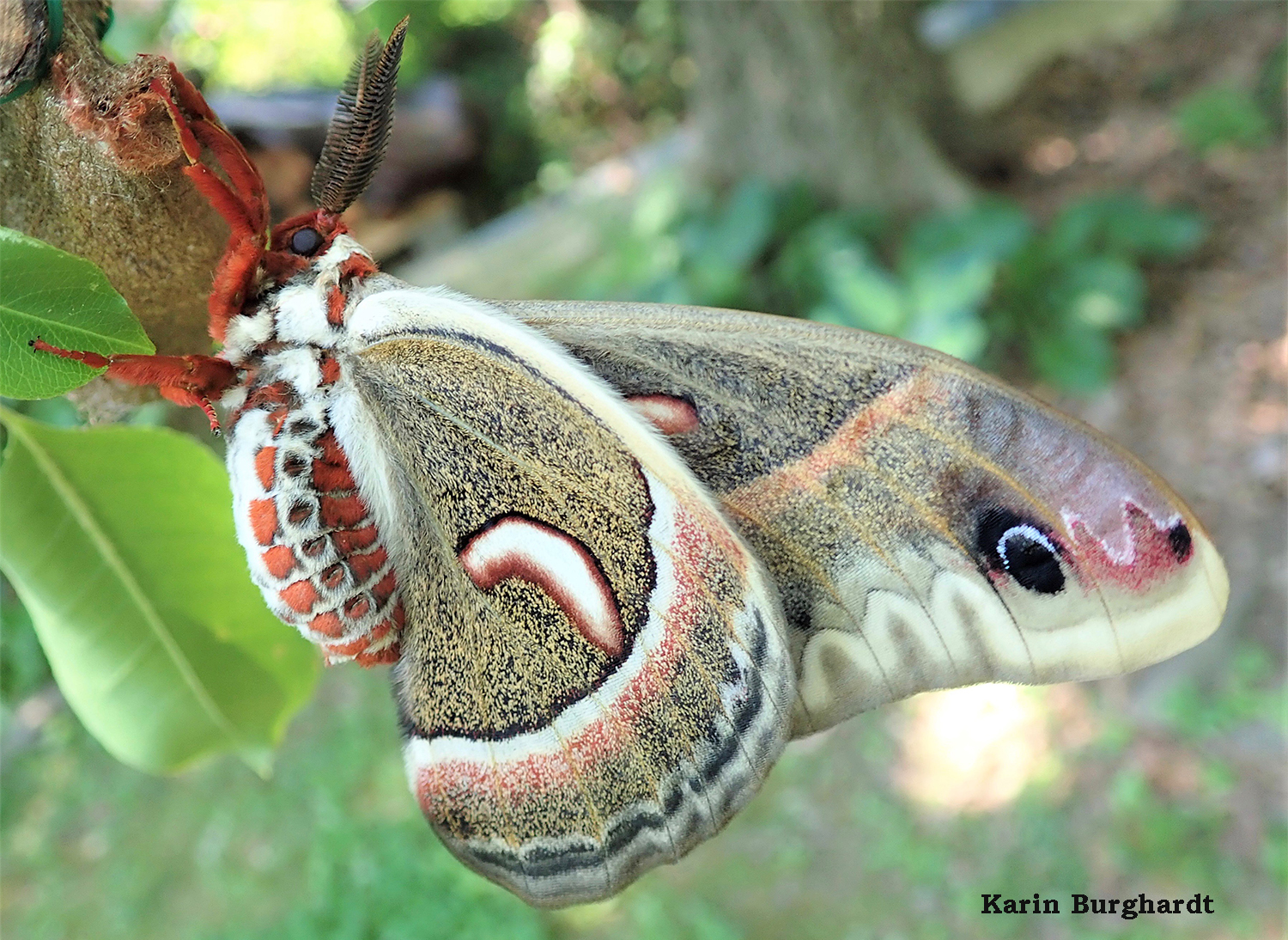Some say Cecropia is the most beautiful of all silk moths. Hard to argue with that. Photo credit: Karin Burghardt