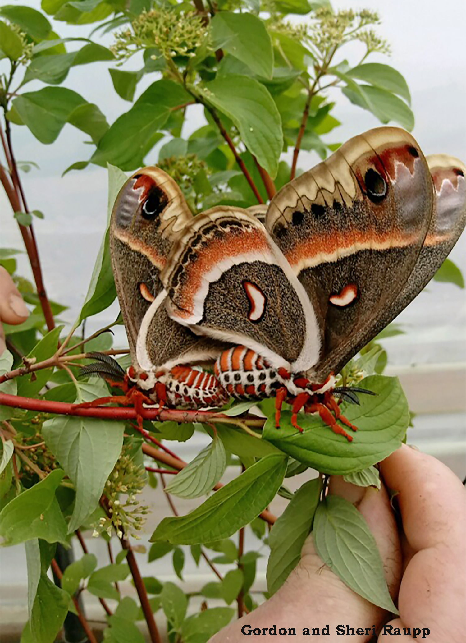 This mating pair was discovered in April on a viburnum at a nursery in New Jersey. Photo credit: Gordon and Sheri Raupp
