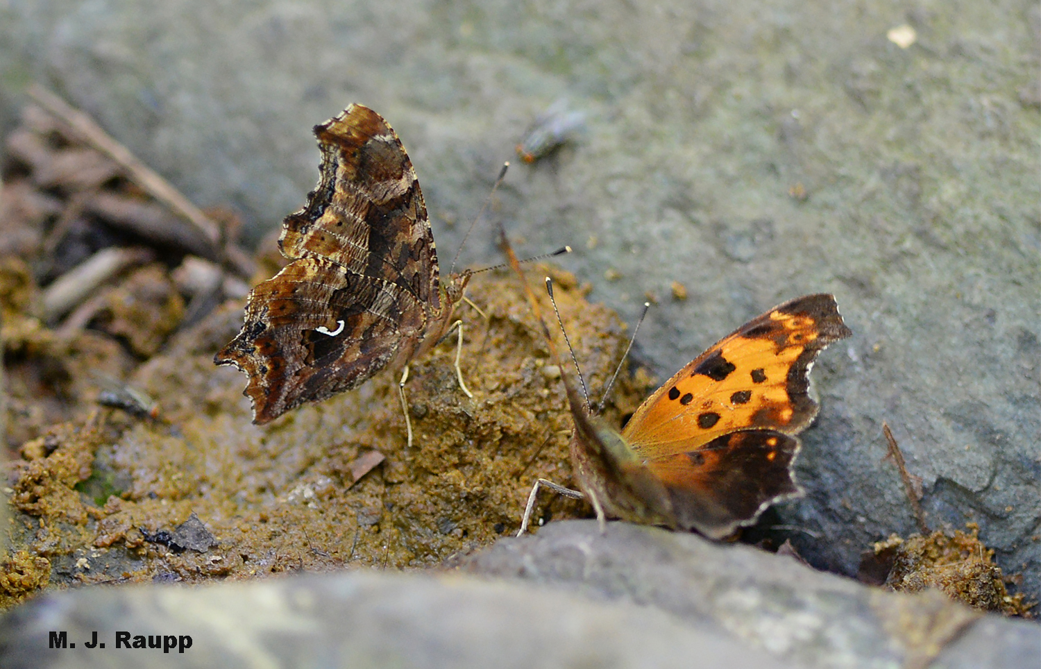 Angled wings with the mottled pattern of a dead leaf on the underside help the comma butterfly escape the searching eyes of predators. Note the bright comma-shaped mark on the hindwing that gives the comma its name.