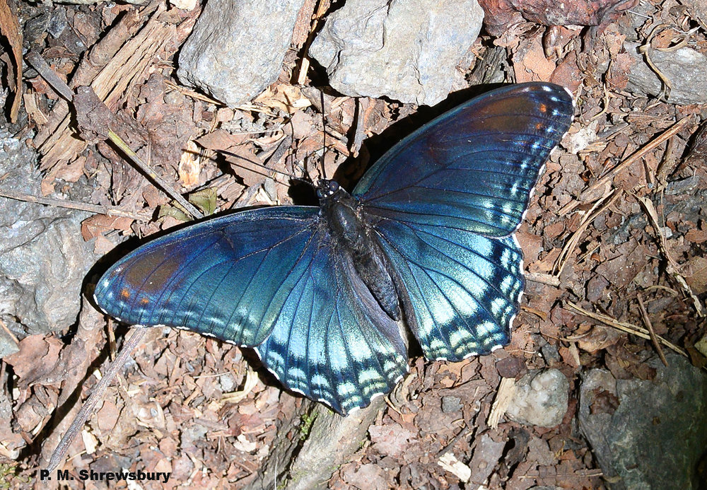 Red-spotted purple butterflies are often seen in light gaps in the forest. Are they simply basking in the sun or foraging for salt deposits in the soil?