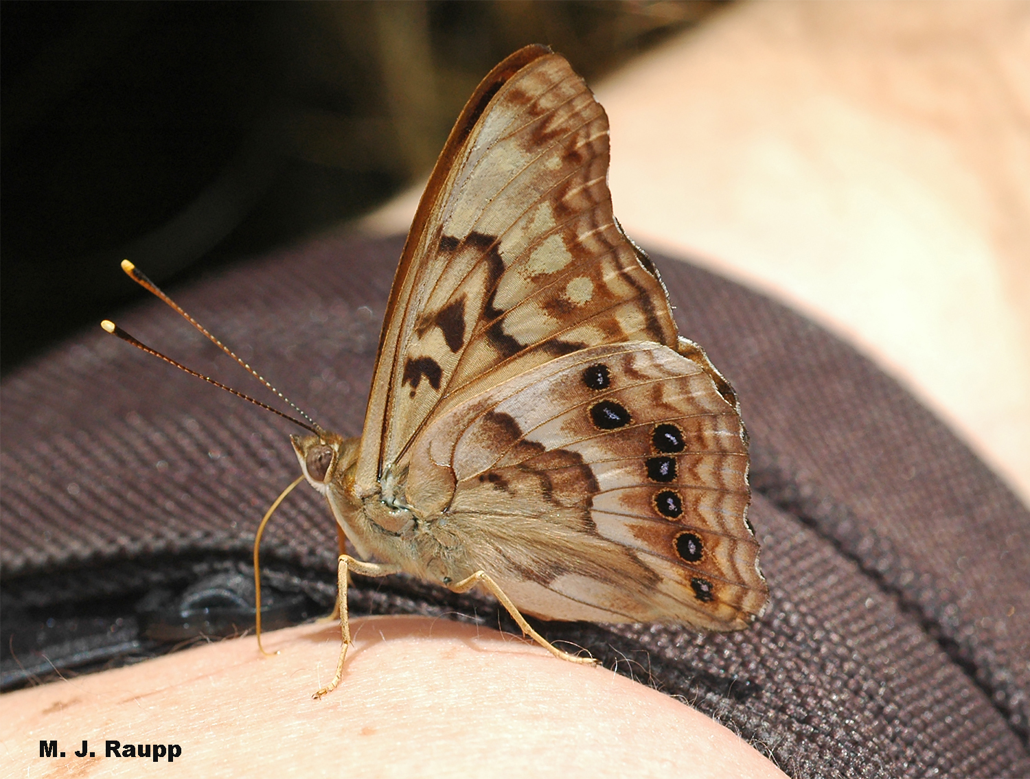 A shoulder glistening with perspiration provides much needed salt to a fearless tawny emperor butterfly.
