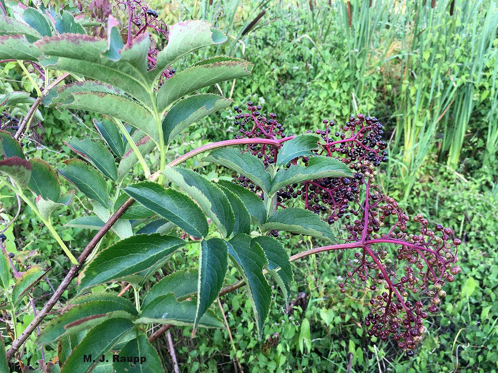 Elderberry, the plant host for elderberry borer larvae, grows in marshy meadows.