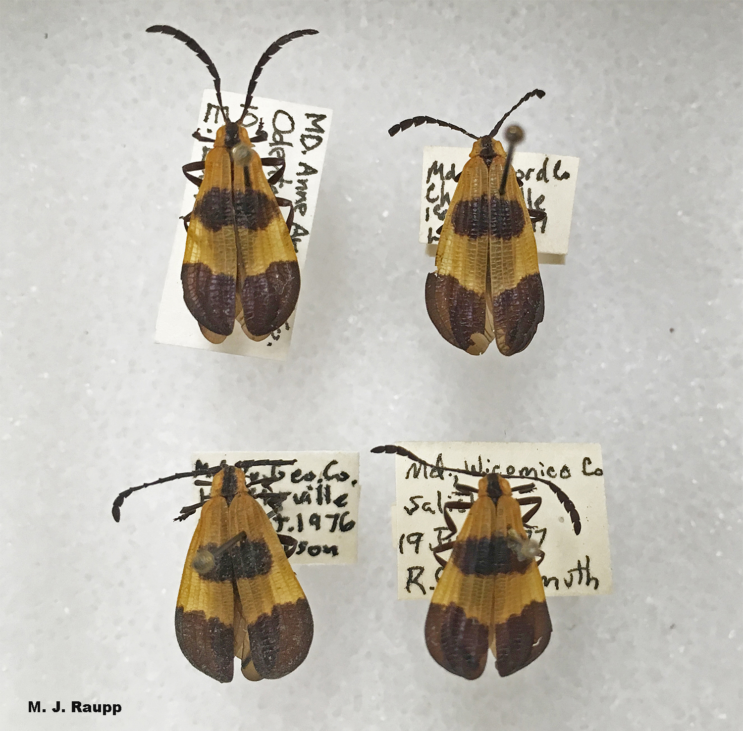 Net-winged beetles are members of a mimicry ring bearing contrasting patterns of light and dark colors.