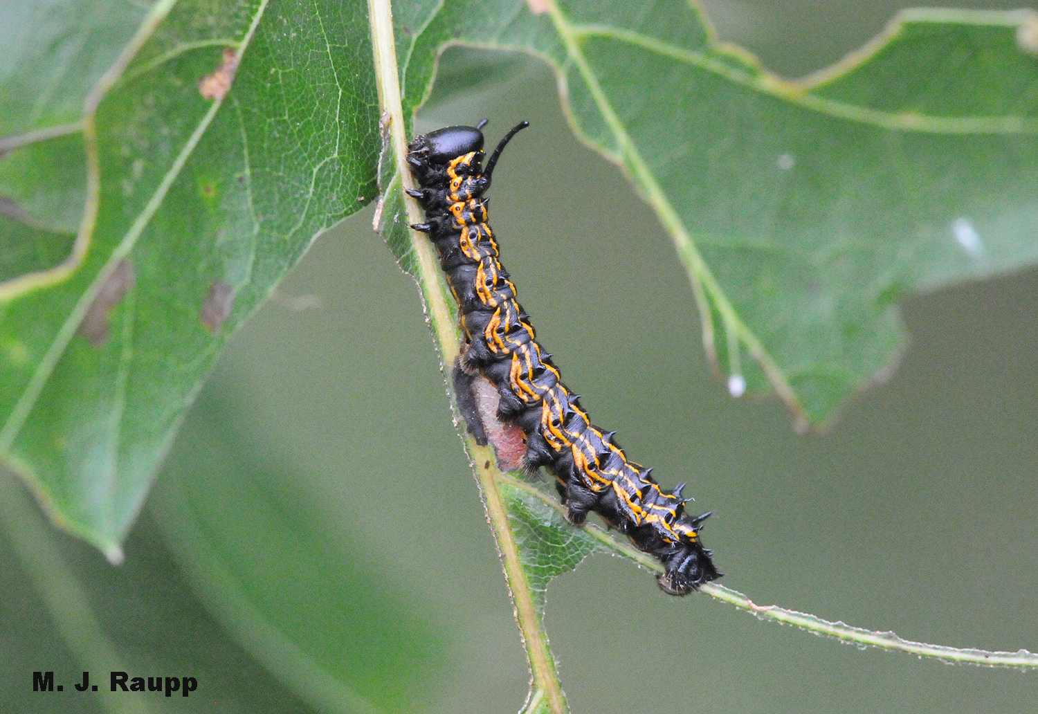 Orange racing stripes and a pair of fleshy horns behind the head make the oakworm one cool looking caterpillar.