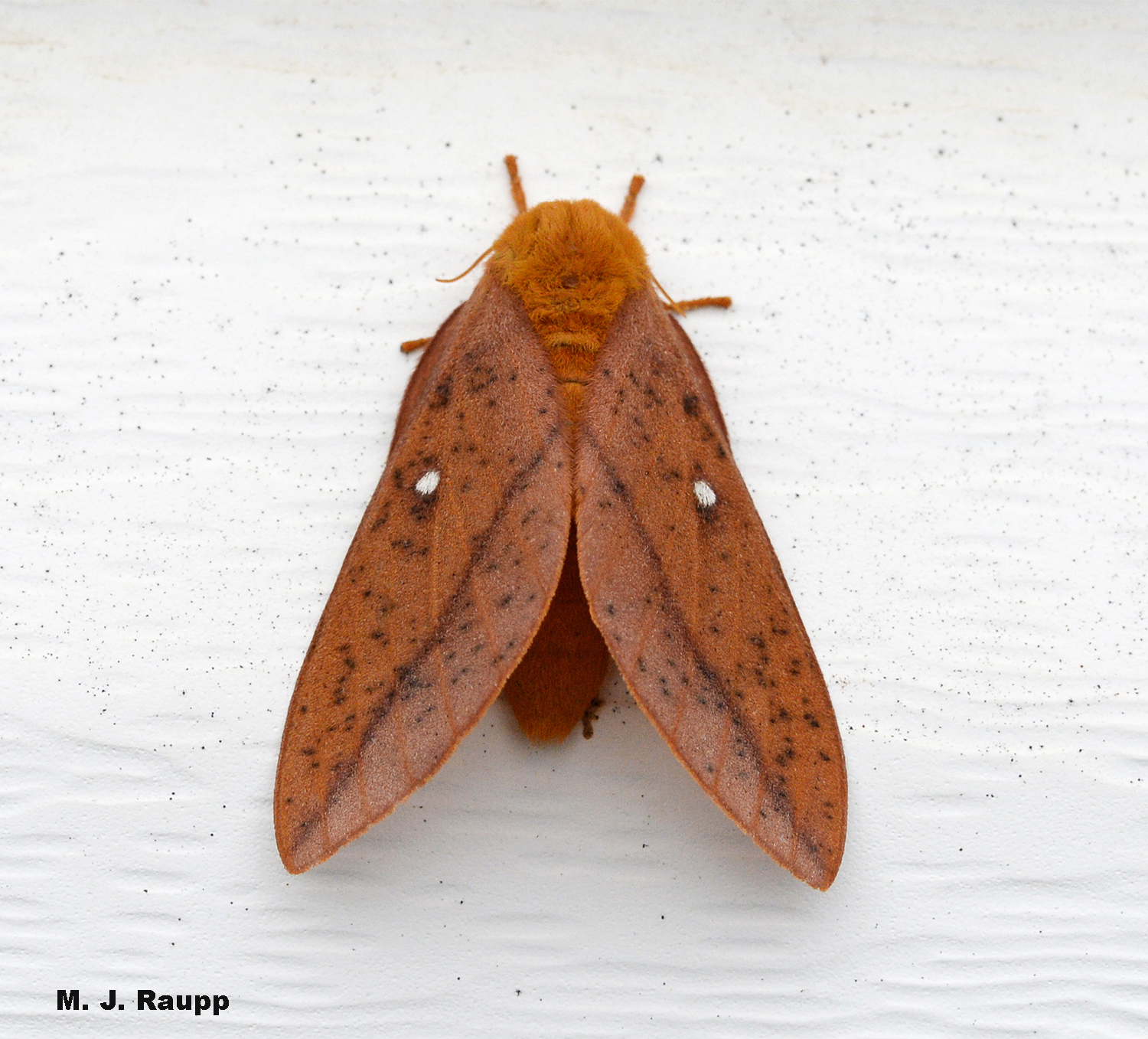 Orangestriped oakworms grow up to be handsome moths.