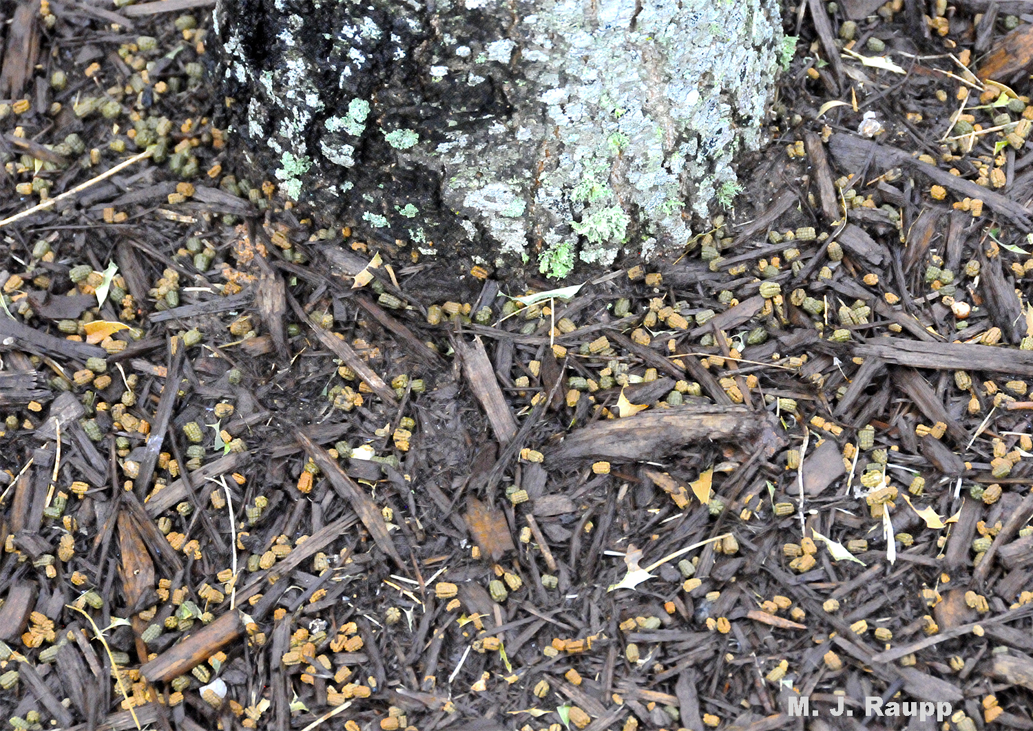 Telltale pellets of frass (insect poop, a technical term) beneath a tree can mark the presence of caterpillars feeding above.