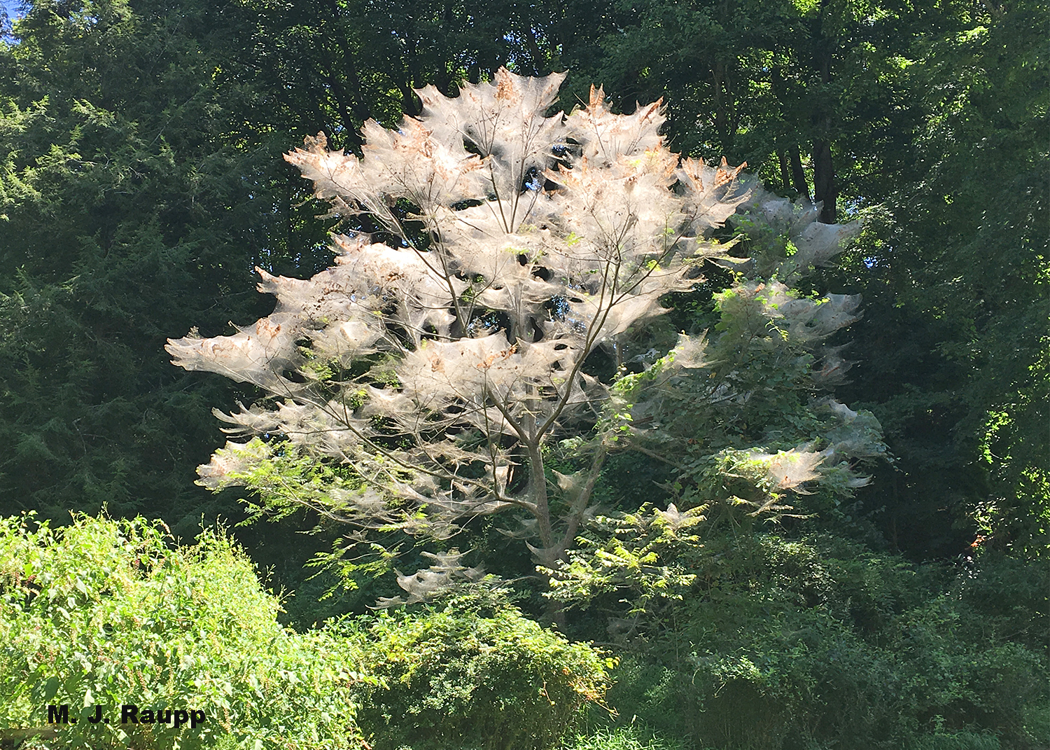 An explosive season for fall webworms finds trees throughout our region festooned with silken webs.