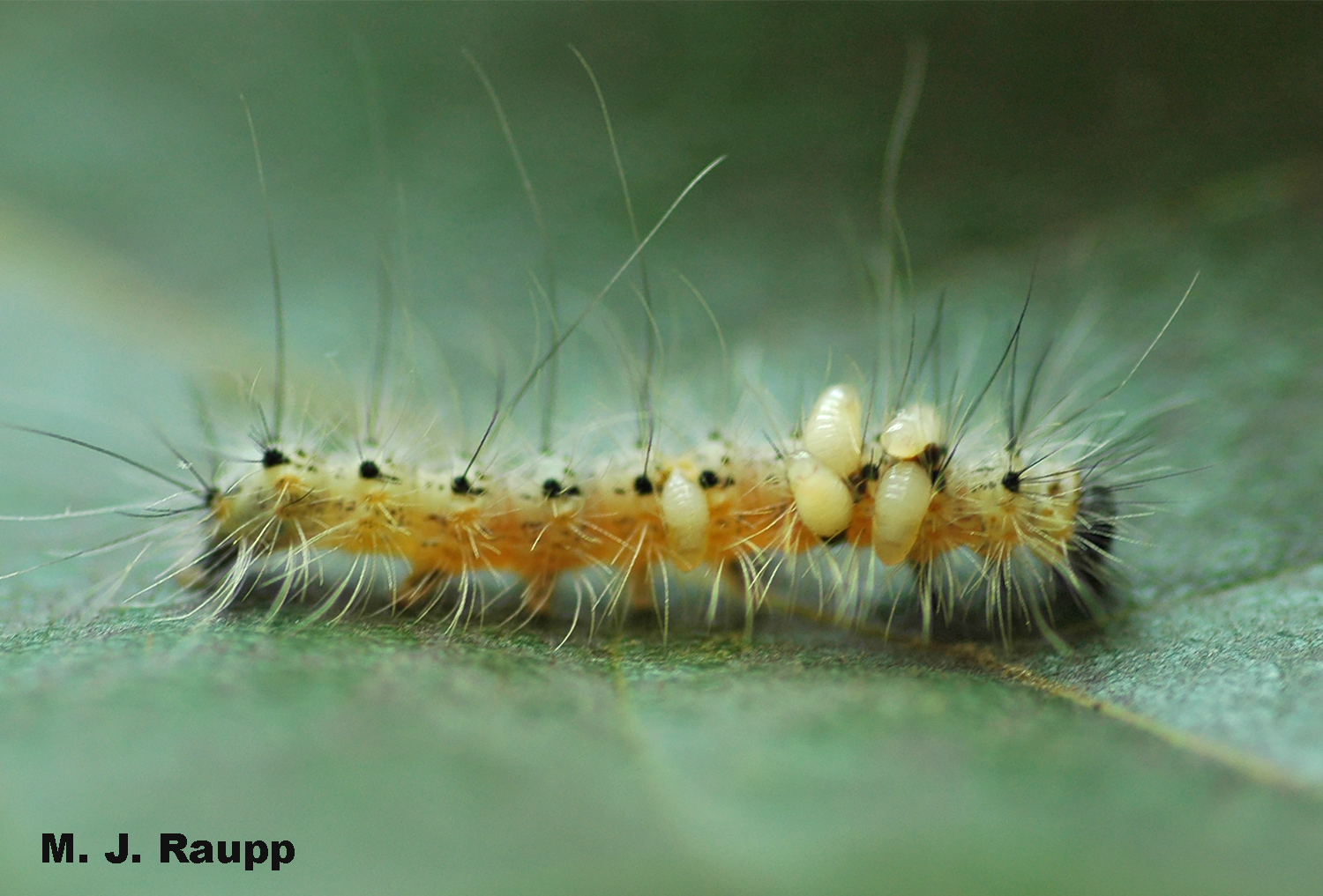 Larvae of parasitic wasps emerge from the body of a fall webworm after devouring its internal organs.