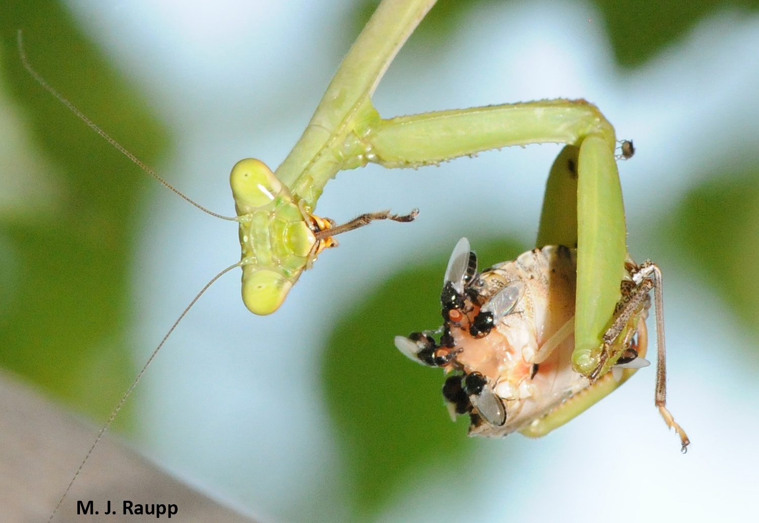 This European mantis finds brown marmorated stink bugs delicious. Mantises are part of Mother Nature's hit squad turning back the tide of invasive pests.