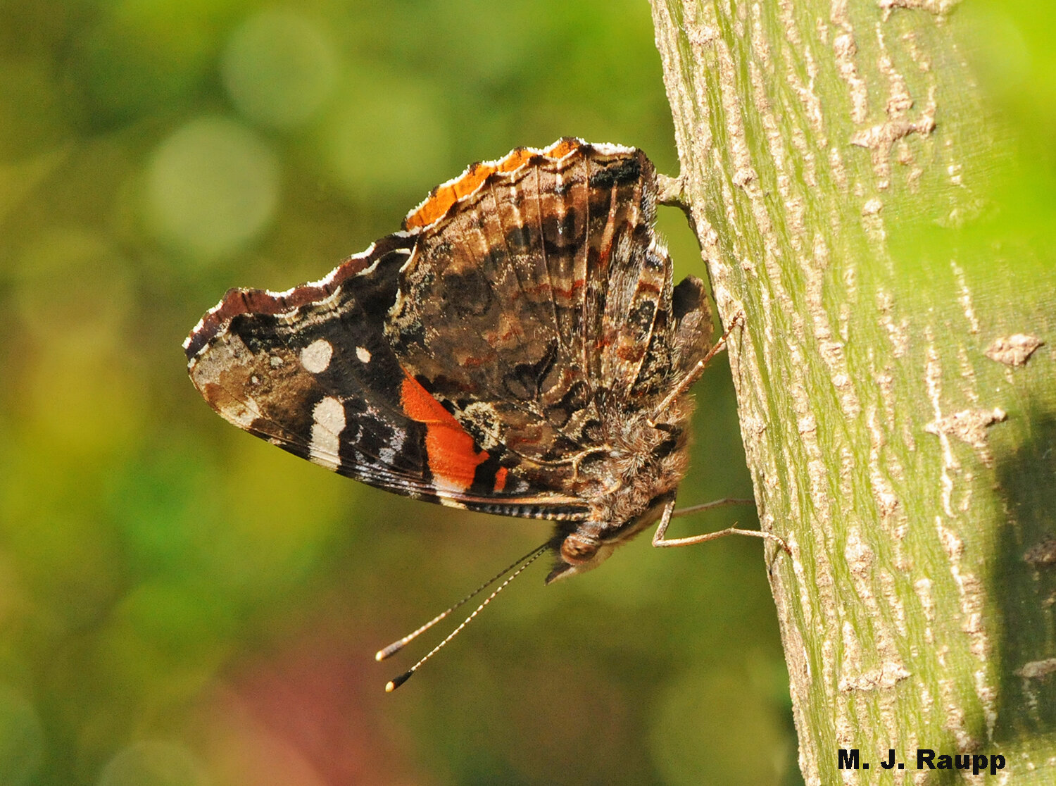 A red admiral appears to survey the surrounding landscape from a small branch. Is it seeking a mate or getting ready to search for food?