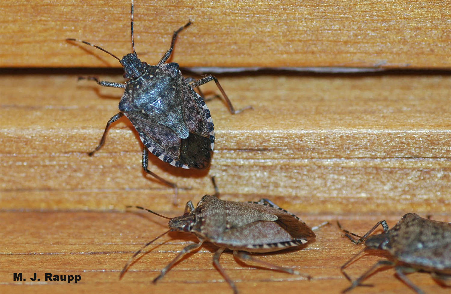 After a good year of plundering crops and fruit and dodging predators and parasitoids, numbers of stink bugs invading homes is on the rise.