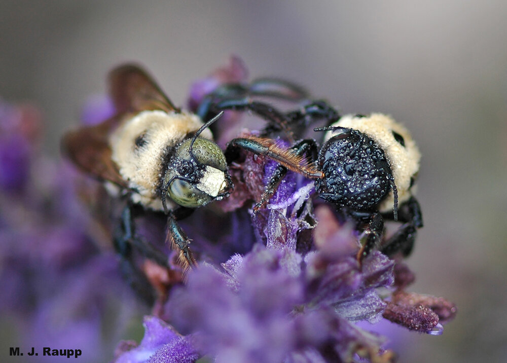 On a dewy morning, male (left) and female (right) carpenter bees await a warm-up from the brilliant autumn sun.