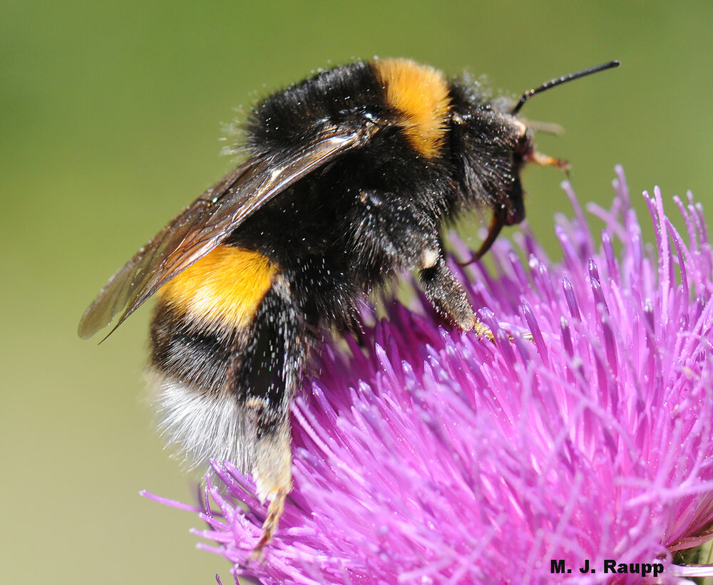 Hair on the abdomen is a hallmark of the bumble bee.