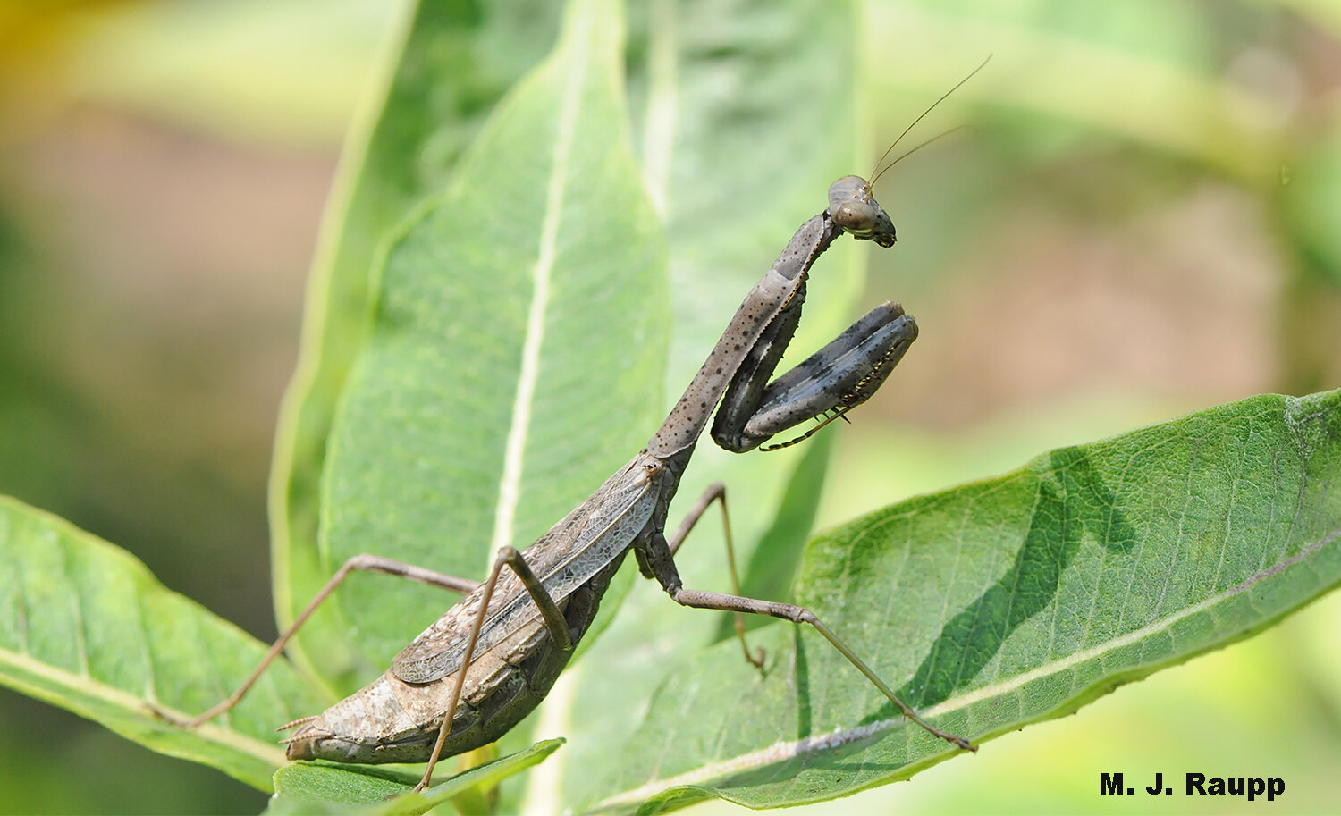 "A gorgeous Carolina mantid waits for a meal - or perhaps a mate who might be a dinner ""guest""."