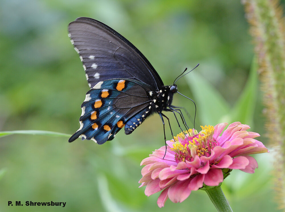 Color and pattern of the gorgeous pipevine swallowtail warn predators of a nasty meal should they dare to attack. Image credit: Dr. Paula M. Shrewsbury