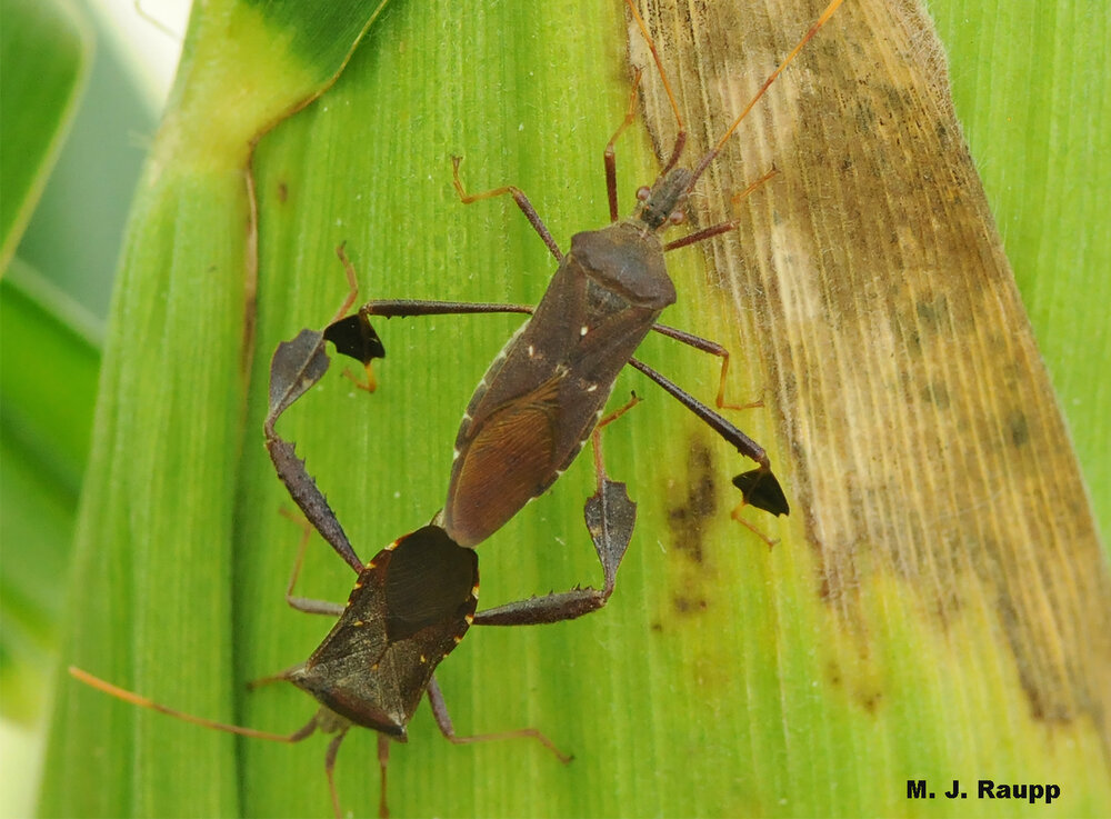 The female leaffooted bug enjoys a tasty corn snack while engaged with her mate.
