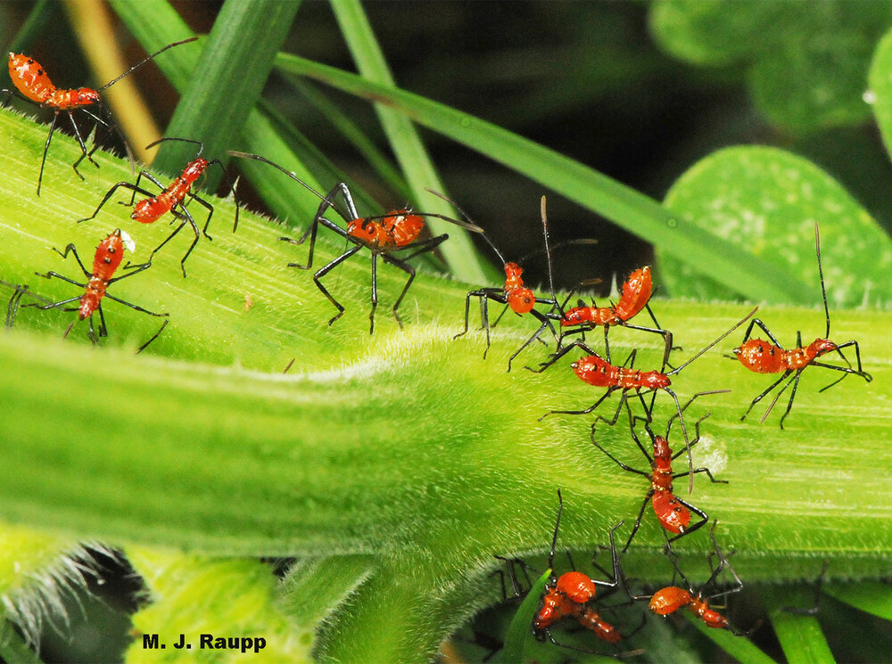A gaggle of leaf-footed bug nymphs dines on my pumpkin vine.