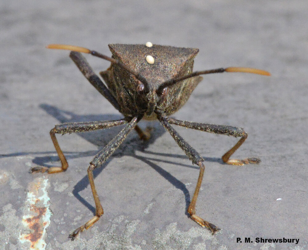 Uh oh, a doomed leaffooted bug has been visited by a tachinid fly. Larvae that hatch from eggs on its thorax will bore into the bug, consume its internal organs, and seal its fate.