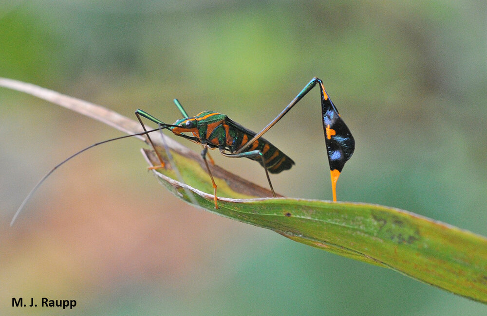 A fantastic tropical flag-footed bug shows off his remaining hind leg.
