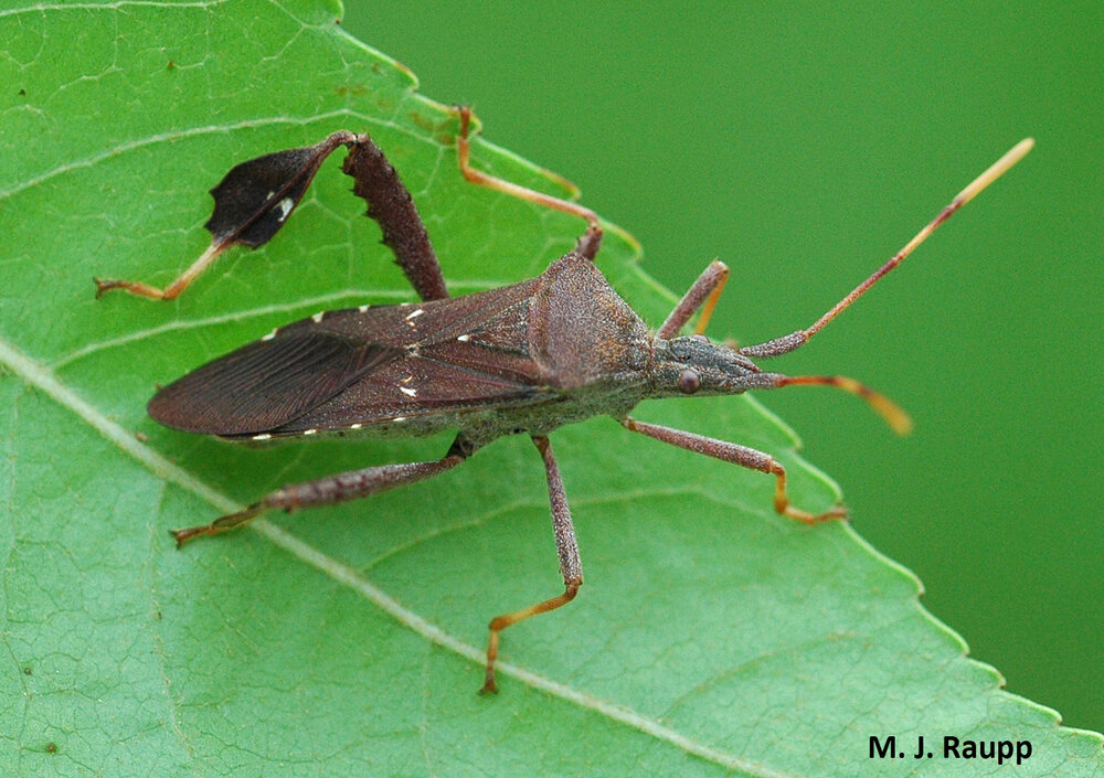 Leaffooted bugs here in the DMV sport impressive flags on their hind legs.