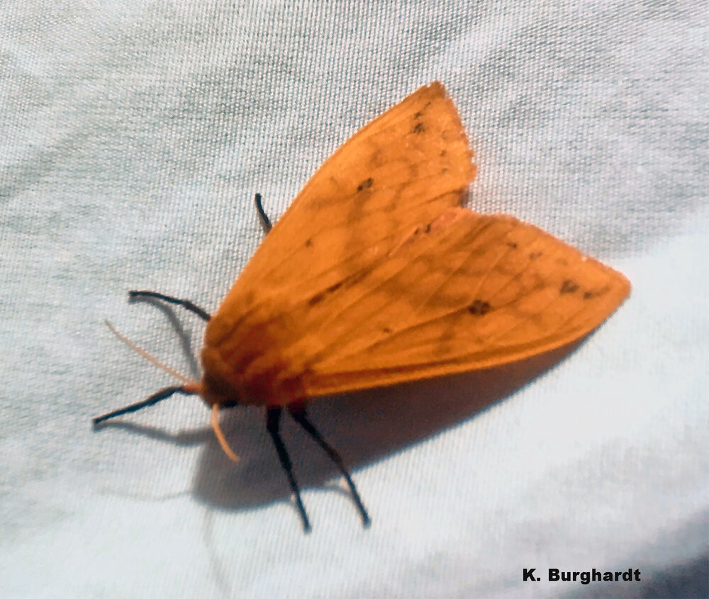 The banded woolly bear turns into the pretty Isabella tiger moth.