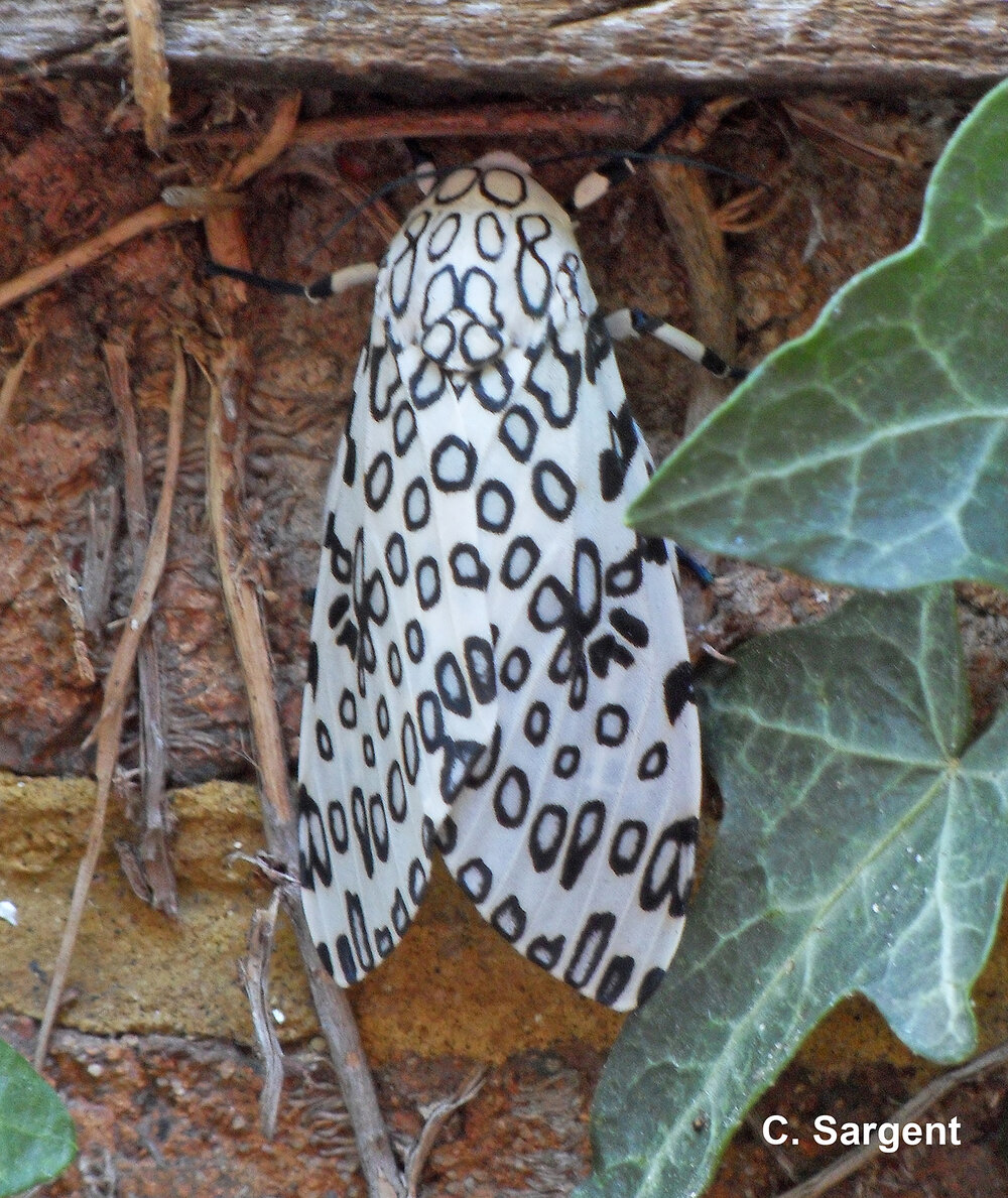 The adult leopard moth, mother of the giant woolly bear, is a thing of beauty with black patterned white wings.
