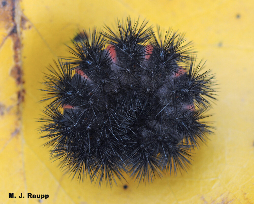 When threatened, the giant woolly bear caterpillar presents a phalanx of stout spines punctuated by crimson rings between body segments – a strong warning to would-be predators and bug geeks.