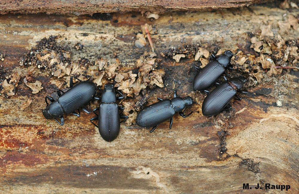 Darkling beetles huddle beneath the bark of a log to escape winter's chill.