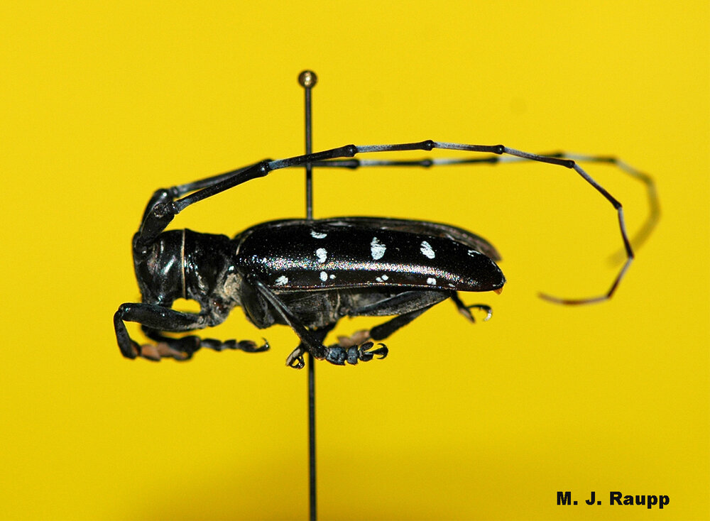 It's easy to see how Asian Longhorned Beetle got its name. Just look at those antennae.