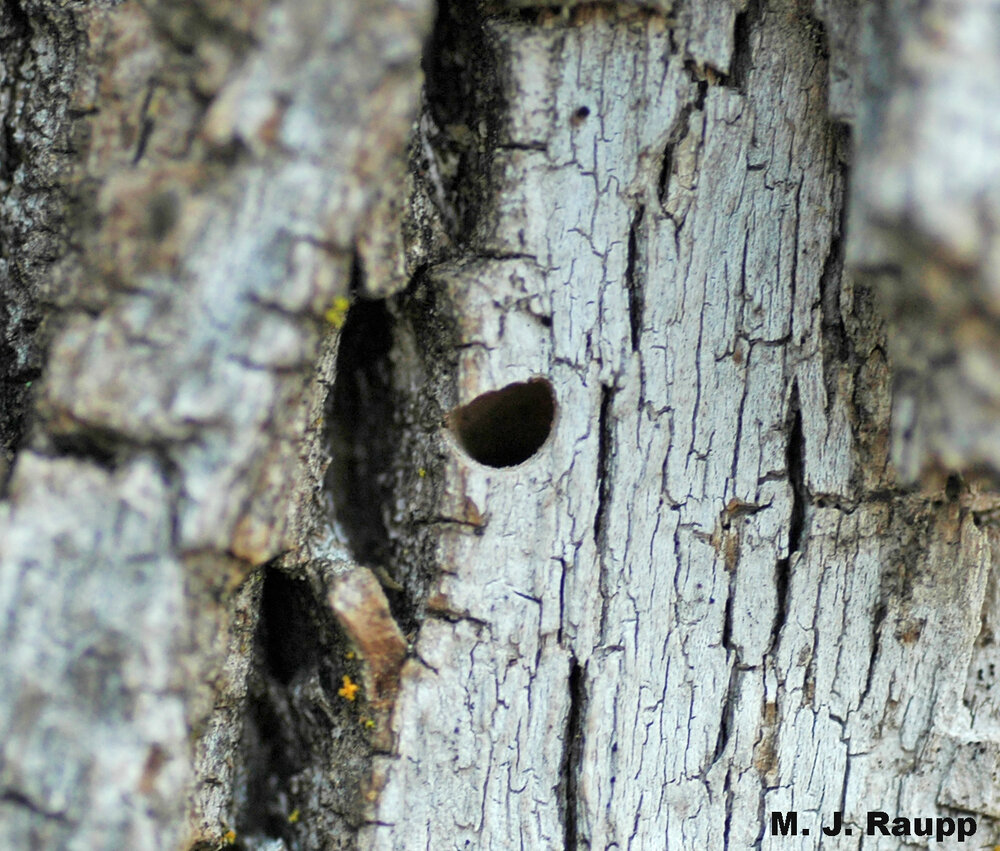 Classic D-shaped exit hole of a flatheaded borer, in this case the Emerald Ash Borer.