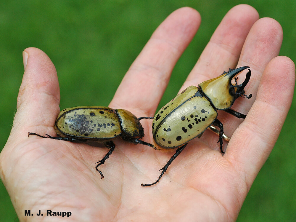 Here in the DMV, native male and female Hercules beetles, a type of rhinoceros beetle, can be held in one hand.