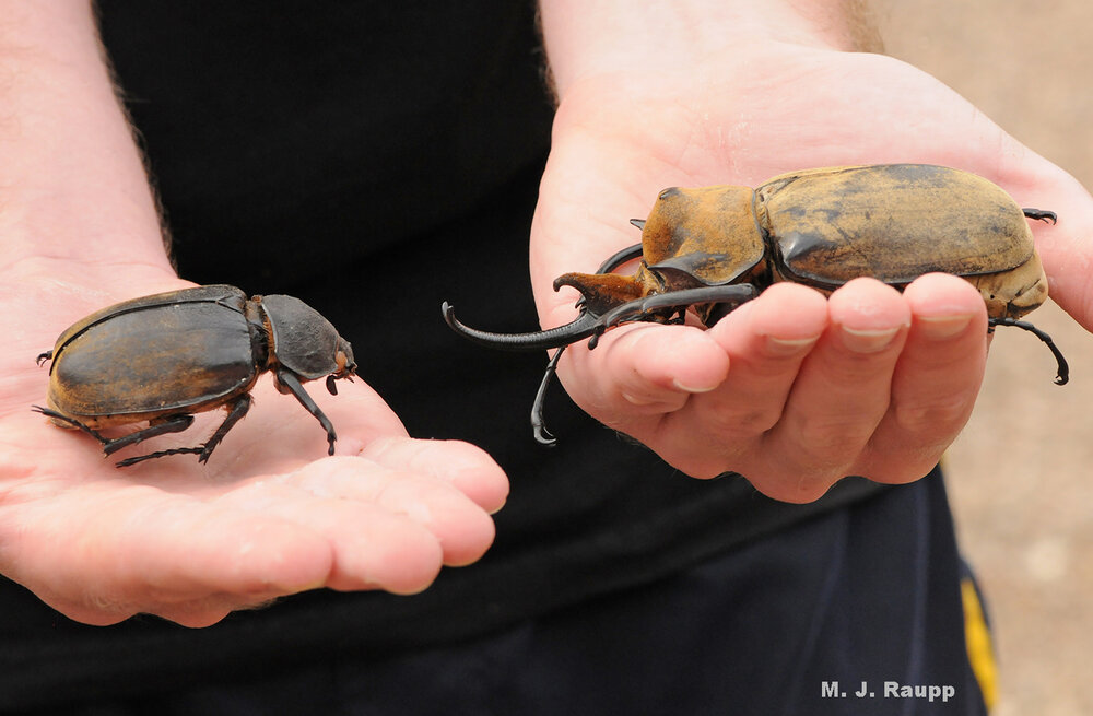 But in Belize, it takes two hands to hold magnificent female and male rhinoceros beetles.