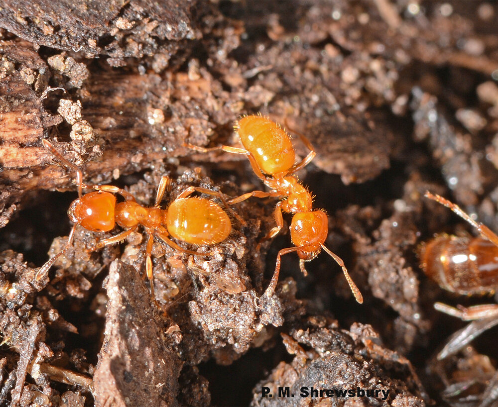When disturbed, bright yellow worker ants release alarm pheromones to recruit nest-mates to assist in defending the colony.