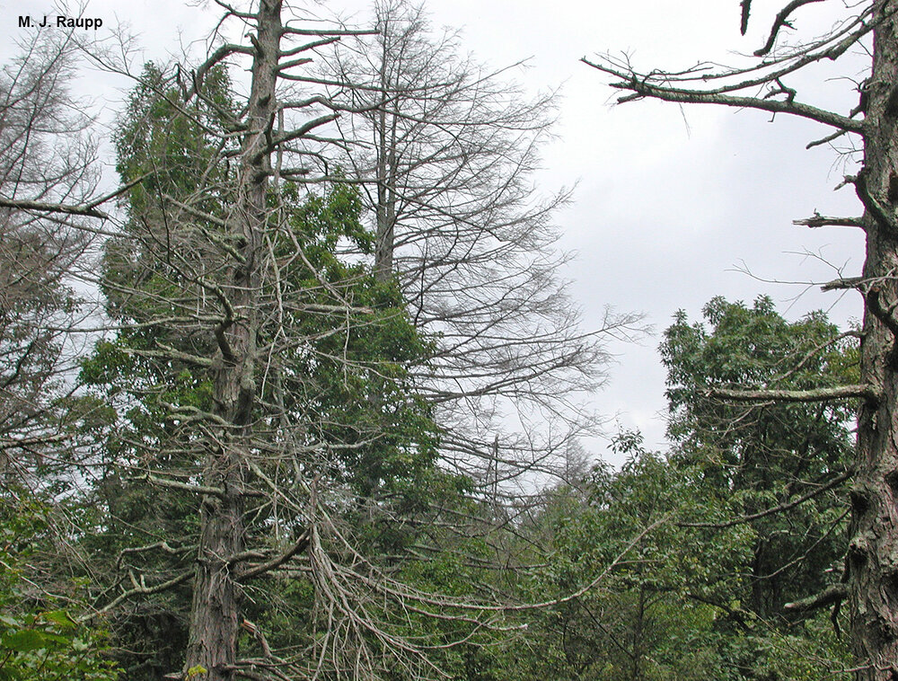 The hemlock woolly adelgid has killed thousands of eastern hemlocks throughout natural and managed landscapes in eastern North America.