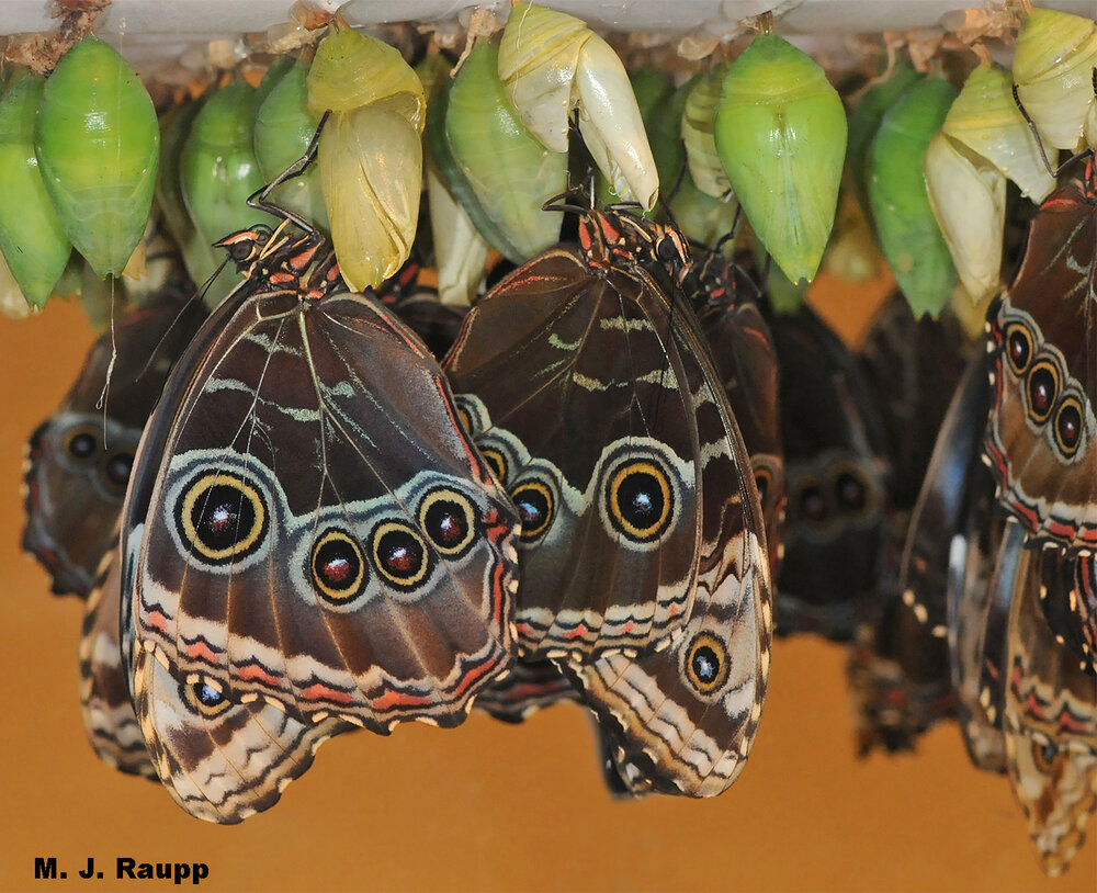 Within chrysalises, Morpho caterpillars transform into beautiful adults.
