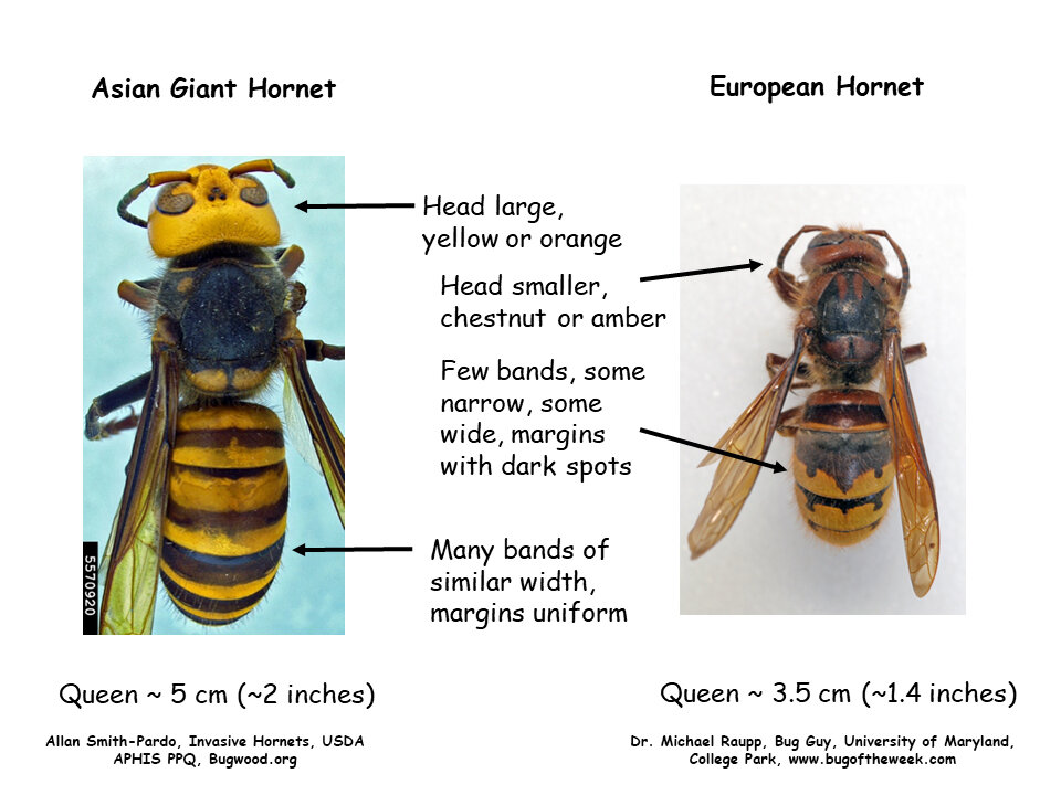 Many viewers are sending images of European hornet, a fairly common and widely distributed exotic species established in the US for decades. A side-by-side comparison will help you to distinguish between the European hornet and Asian giant hornet.