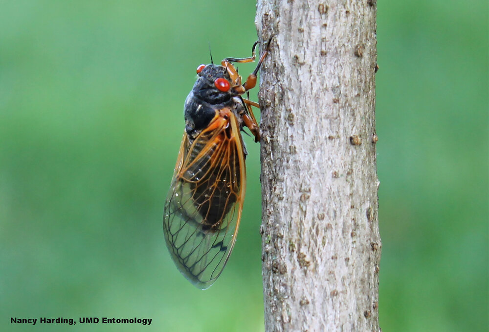 Look what showed up in a yard in Bowie Maryland, a periodical cicada. Image: Nancy Harding, UMD Entomology
