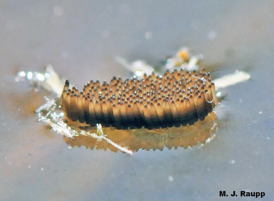 Hundreds of larvae will hatch from Culex egg rafts floating on the surface of the water.