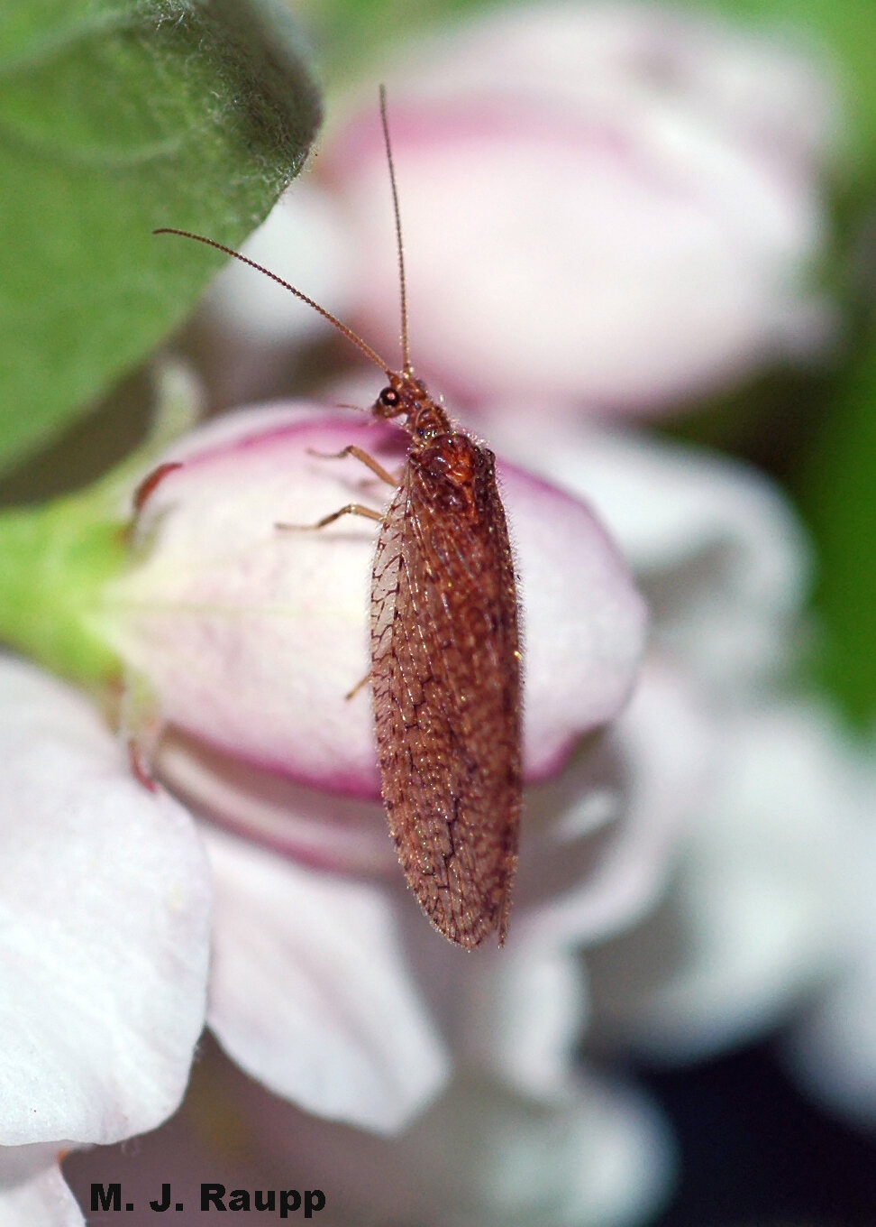 Although not as lovely as the green lacewing, the brown lacewing also spells disaster for many common garden pests.