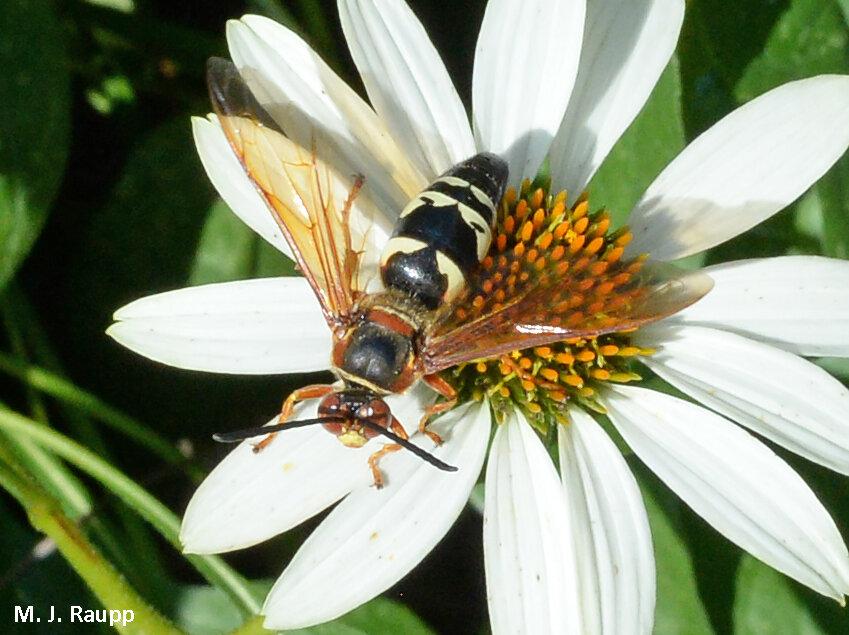 Male cicada killers are harmless and beautiful…well, unless you are another male cicada killer.