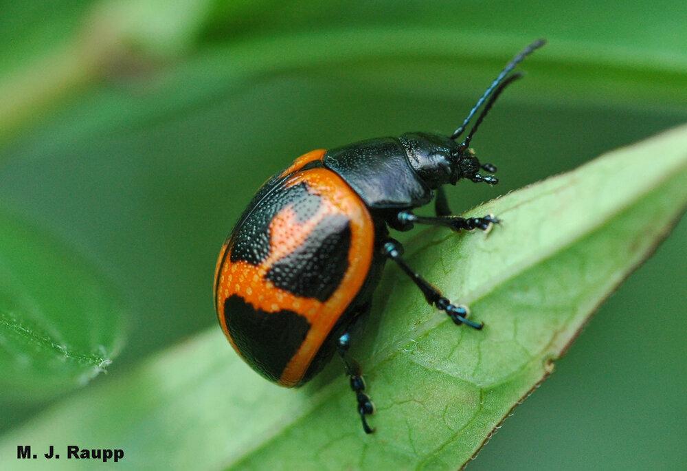Beautiful adult milkweed leaf beetles sport Mother Nature's warning colors of orange and black.