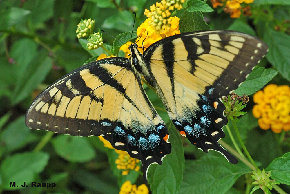 Beautiful eastern tiger swallowtails have been relatively scarce in my garden thus far this year.