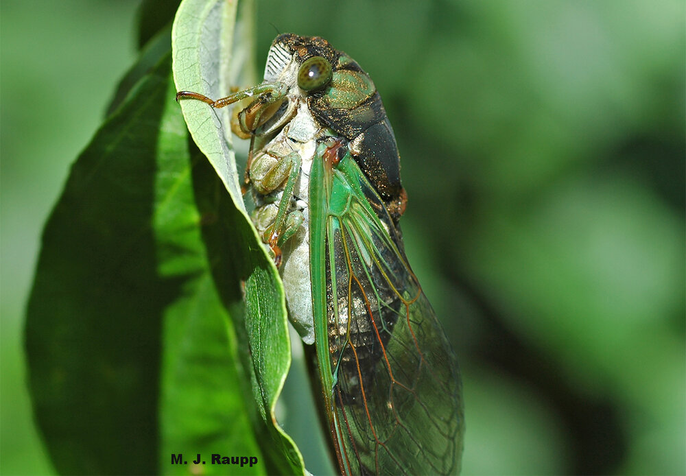 Gorgeous annual cicadas chorus in daytime and evening on toasty summer days.