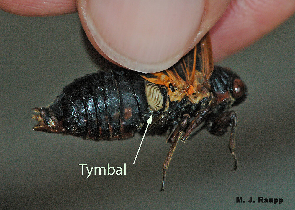 By rapidly vibrating tymbal organs of each side of their abdomen, cicadas produce otherworldly songs.